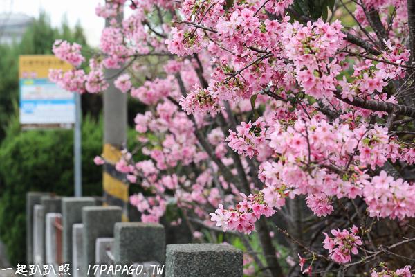 《台中.豐原》2018公老坪粉紅富士櫻盛開,豐原陽明山也有很多櫻花可以賞
