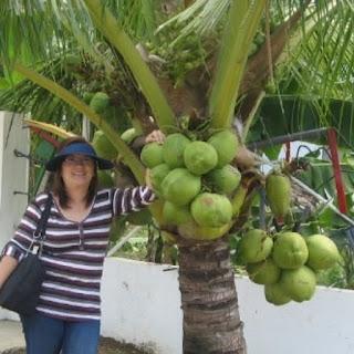 Bibit Tanaman Unggul – Bibit kelapa kopyor adalah salah satu jenis kelapa unik di dunia. Disebut kopyor karena memiliki bentuk daging buah (endosperm) yang hancur dan kocak. Hal ini mengakibatkan sebagian besar daging tidak melekat lagi di tempurung. Karena dagingnya hancur, maka ia bercampur dengan air yang menjadikan tekstur nan lembut dan manis rasanya. kelapa kopyor genjah kultur jaringan