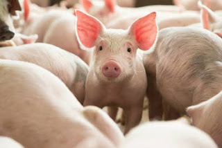 How To Prevent Odors On Pig Farm