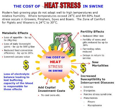 Stress nhiệt ảnh hưởng tới năng suất chăn nuôi heo.