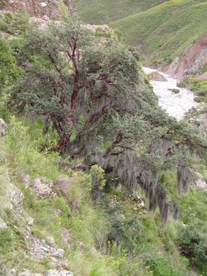Queñoa (Polylepis crista-galli)