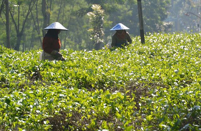 Para perempuan pemetik daun teh