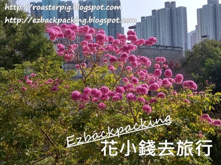 2021年香港紅花風鈴木