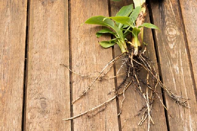 gambar akar pisang