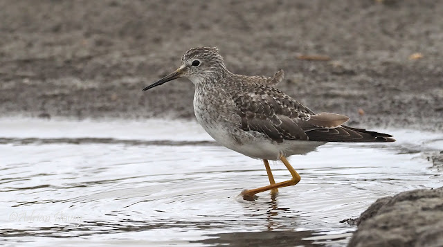 Lesser Yellowlegs and Ruff in Dorset.