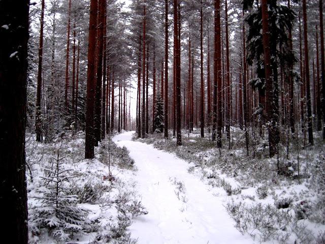 metsä, puu