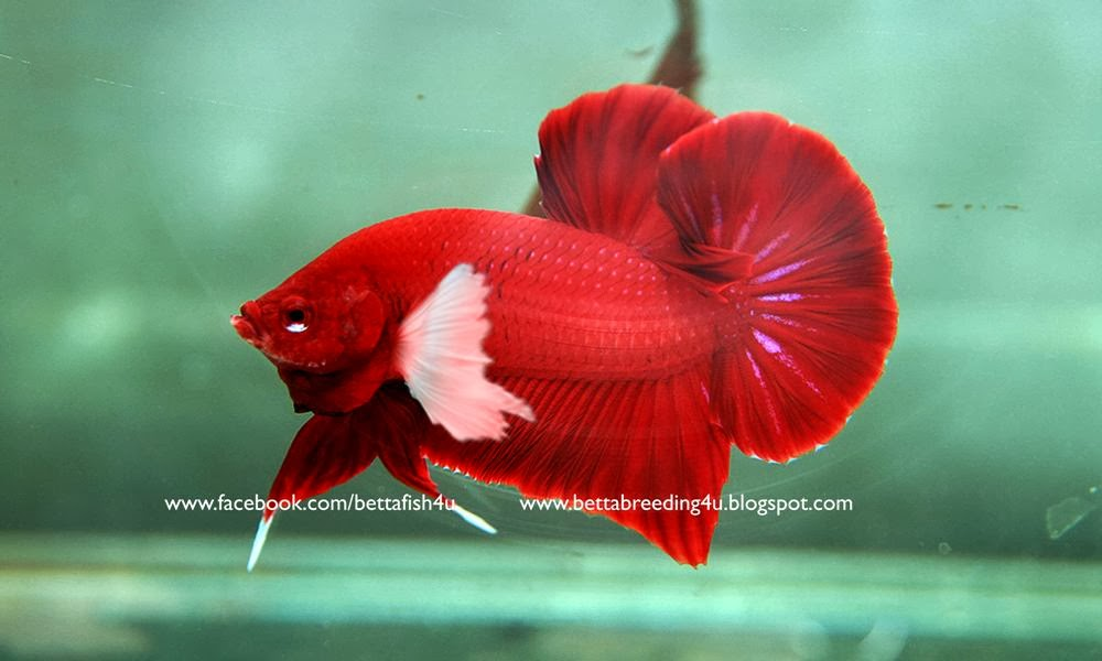 All About Betta Fish Blood Red Dumbo Betta Fish Plakat