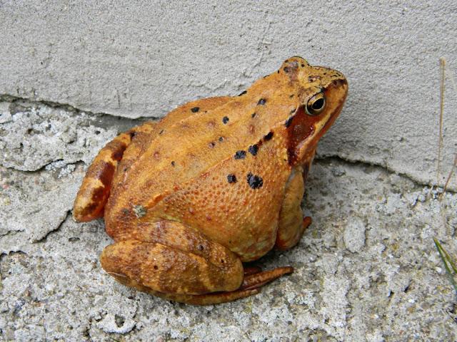 żaba trawna, płaz pospolity w Polsce