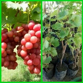 bibit-anggur-merah-super.jpg