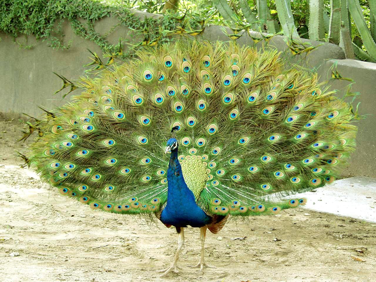 Beautiful Peacock Wallpapers Hd