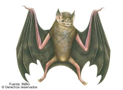 Murciélago vampiro Desmodus rotundus