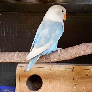 lovebird pastel biru