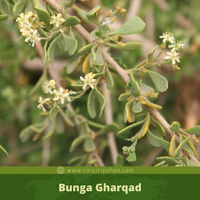 Bunga Gharqad