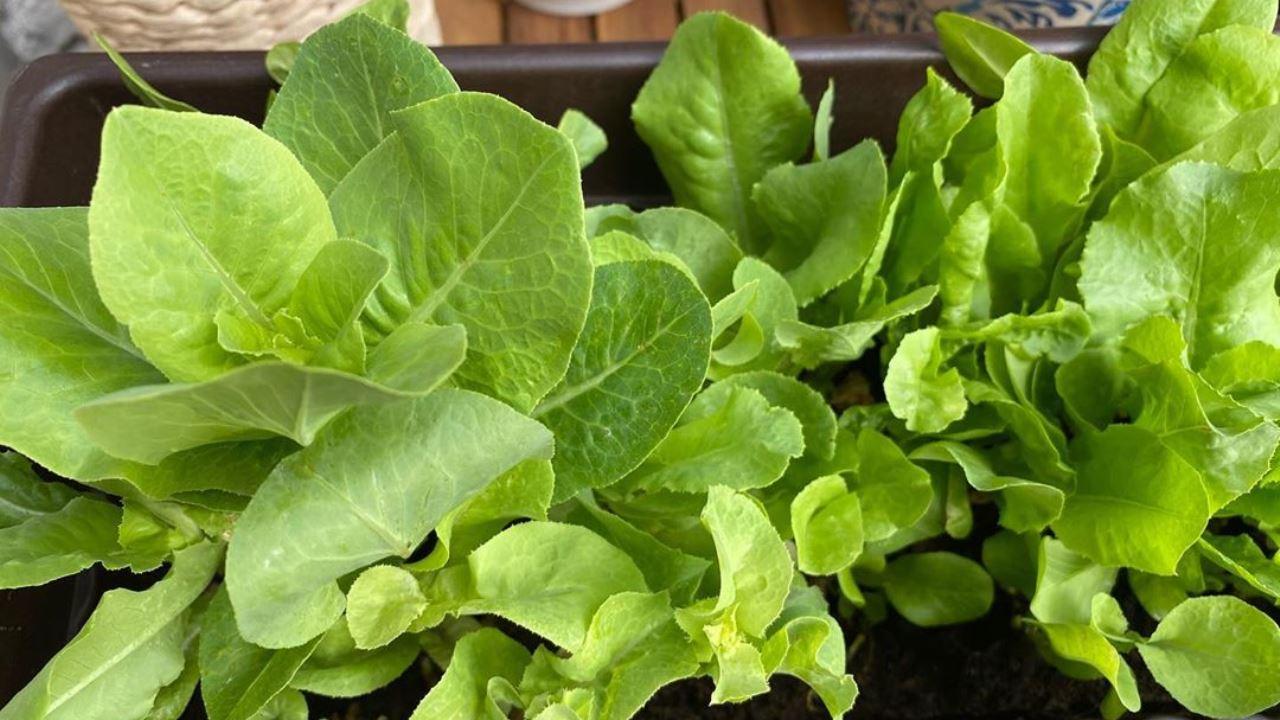 Kopfsalat ist einfach in einem Behälter zu züchten