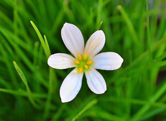घास फूल