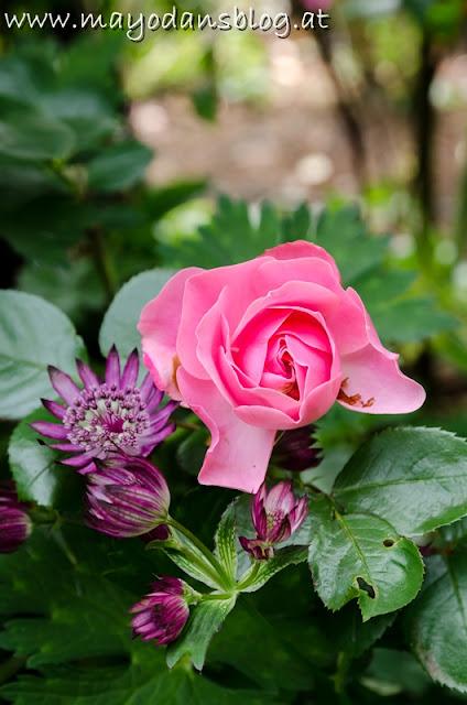Rose und Sterndolde im Garten