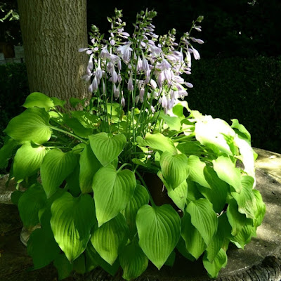 Flowering hosta in a pot