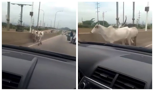 Nigerians reacts as Cows cause accident on a highway in Abuja (Video)