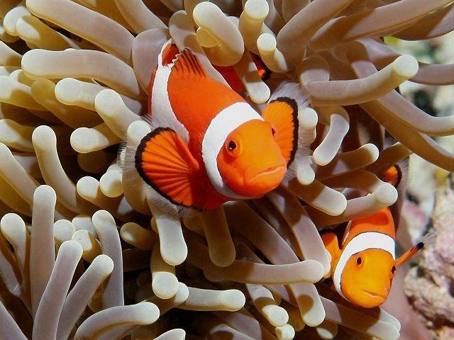 Jenis Parasit Ikan Badut