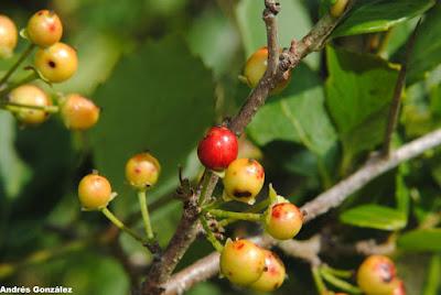 frutos de Xylosoma tweediana
