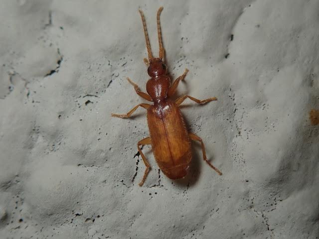 Thalpius sp