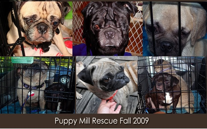 pug rescue ny pug rescue new york nyc ny ma ct nj ri surrender 7713
