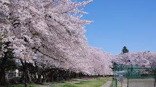 野球場のバックネット裏は圧巻の桜が見られます