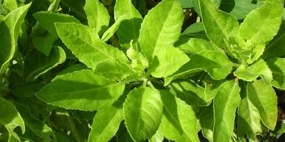 manfaat daun sambung nyawa dan gambarnya,daun sirsak,daun dewa,daun salam,binahong,kumpulan manfaat daun sambung nyawa,daun sirih merah,daun sambiloto,