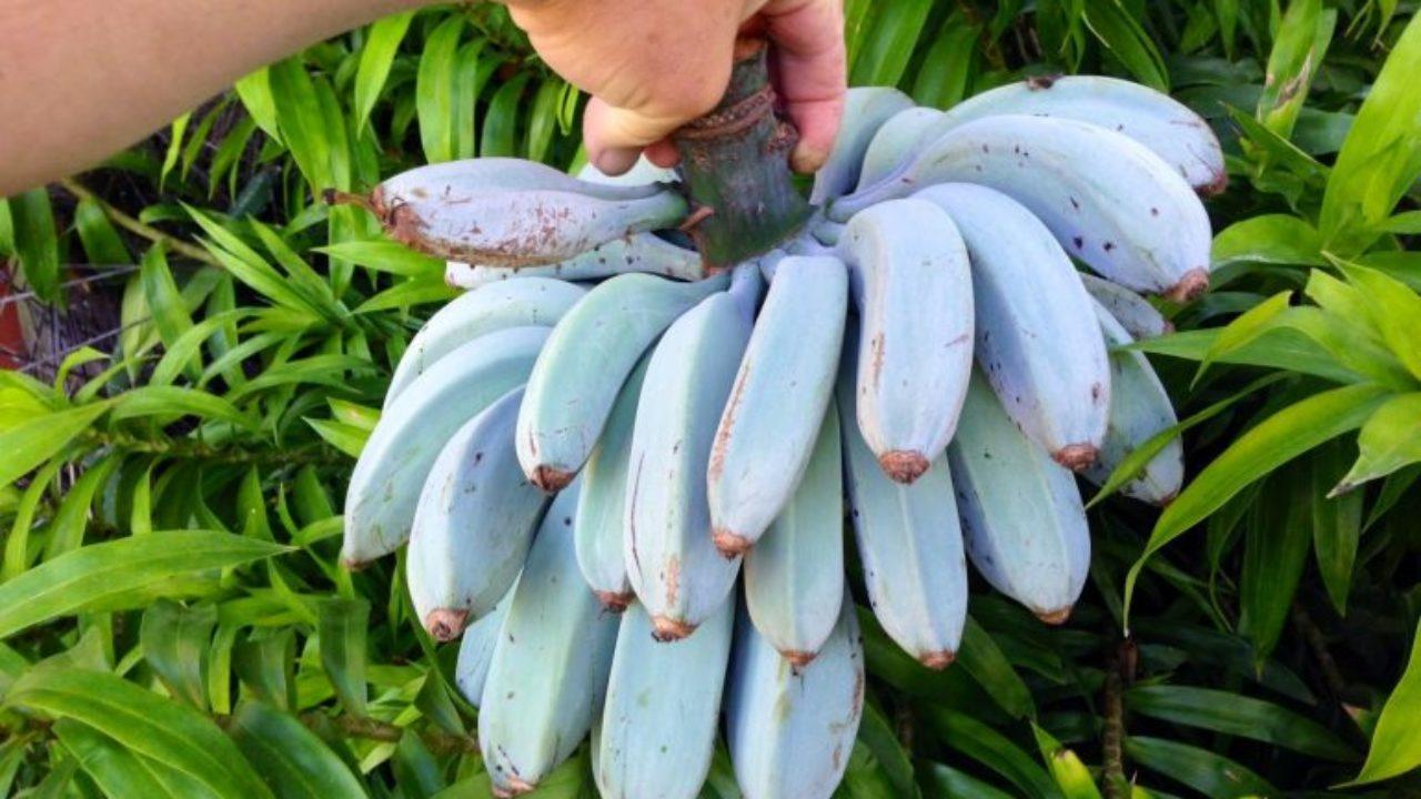Mavi Muz / Blue Java Banana