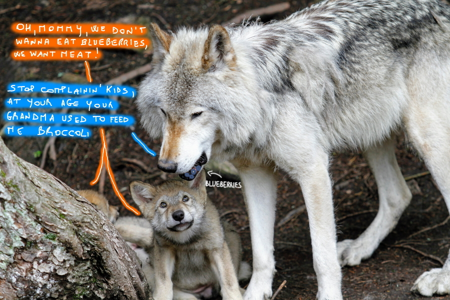 Wolves and blueberries (by @sciencemug)