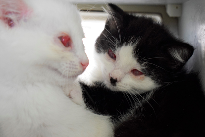 Two black-and-white kittens with red sore eyes