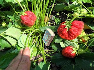 Сорт Юля - первые ягодки