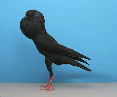 champion pouter - cropper pigeons