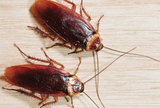 Ο εφιάλτης γίνεται πραγματικότητα: Τα εντομοκτόνα δεν μπορούν να σταματήσουν τις κατσαρίδες