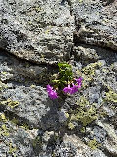 [Primulaceae] Primula daonensis – (Primula della Valle di Daone).