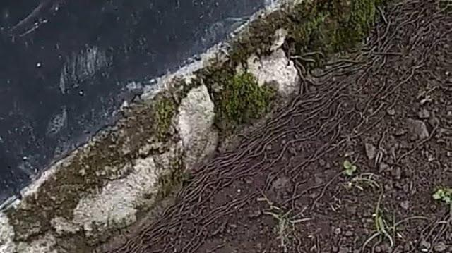 Ribuan Cacing Tanah Muncul di Beberapa Wilayah, Kali Ini di Klaten