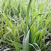 Plantio do trigo chega a 95% no Estado Gaúcho