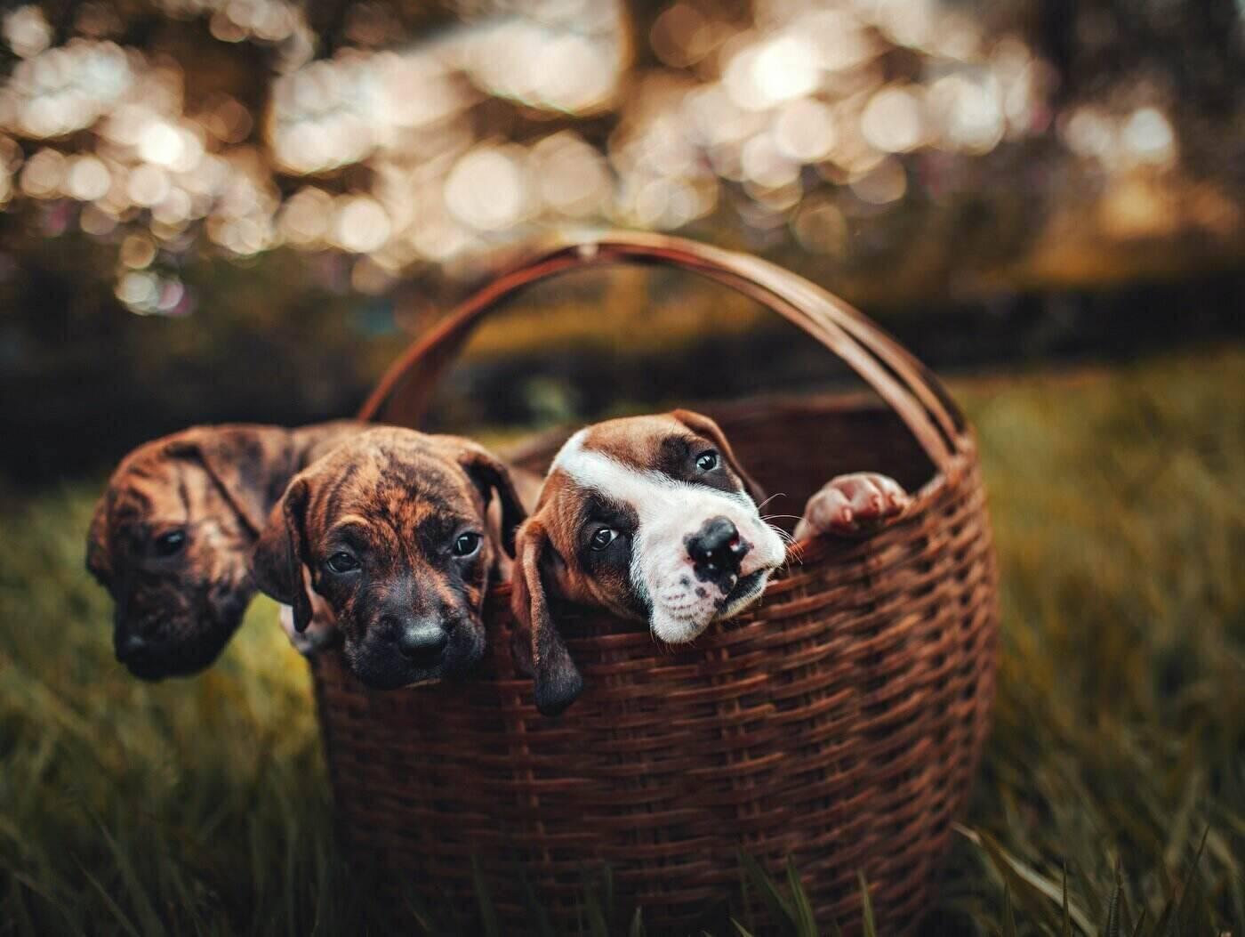three brindle puppies in a basket - how to make sure your puppy comes from a responsible breeder