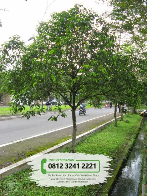 Jual Bibit & Benih Biji Pohon Tanjung