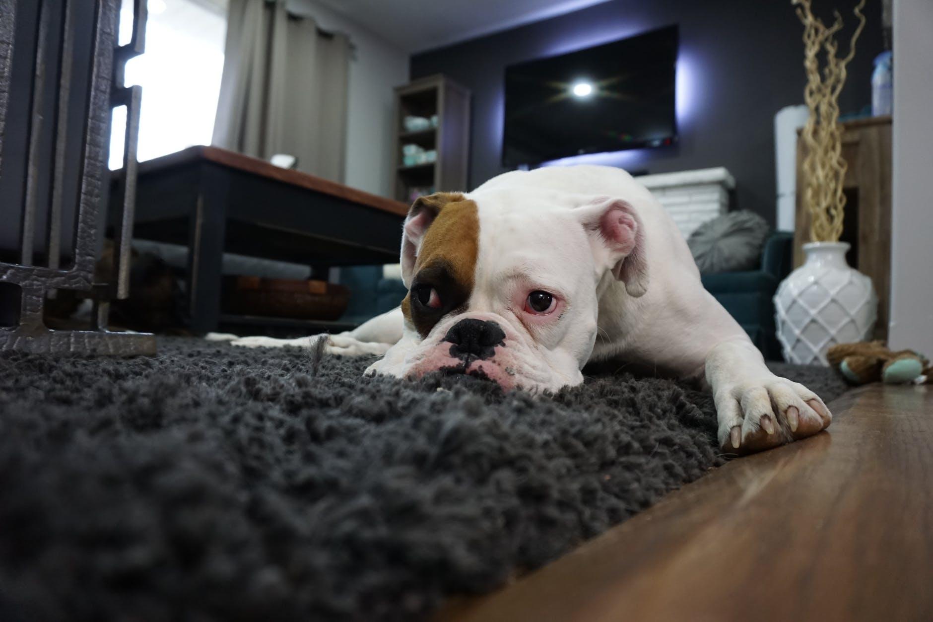 Des astuces pour vivre en appartement avec son chien