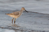 Stilt Sandpiper – Bens Lake, AB – May 19, 2014 – Dfaulder