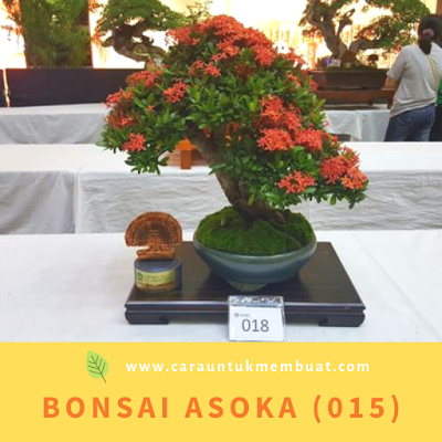 Bonsai Asoka (015)