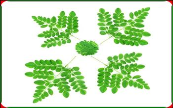 The secret of the greatness of the tree, leaves, powder moringa