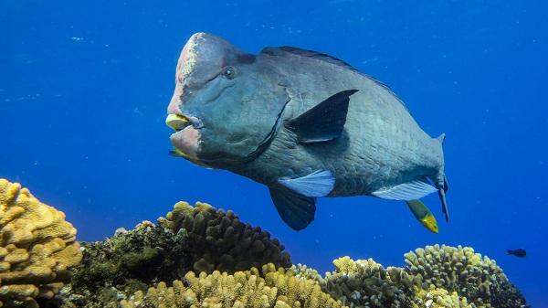 Cá mó đầu gù - S.E.A Aquarium