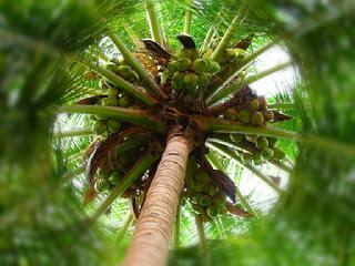 deskripsi-pohon-kelapa.jpg