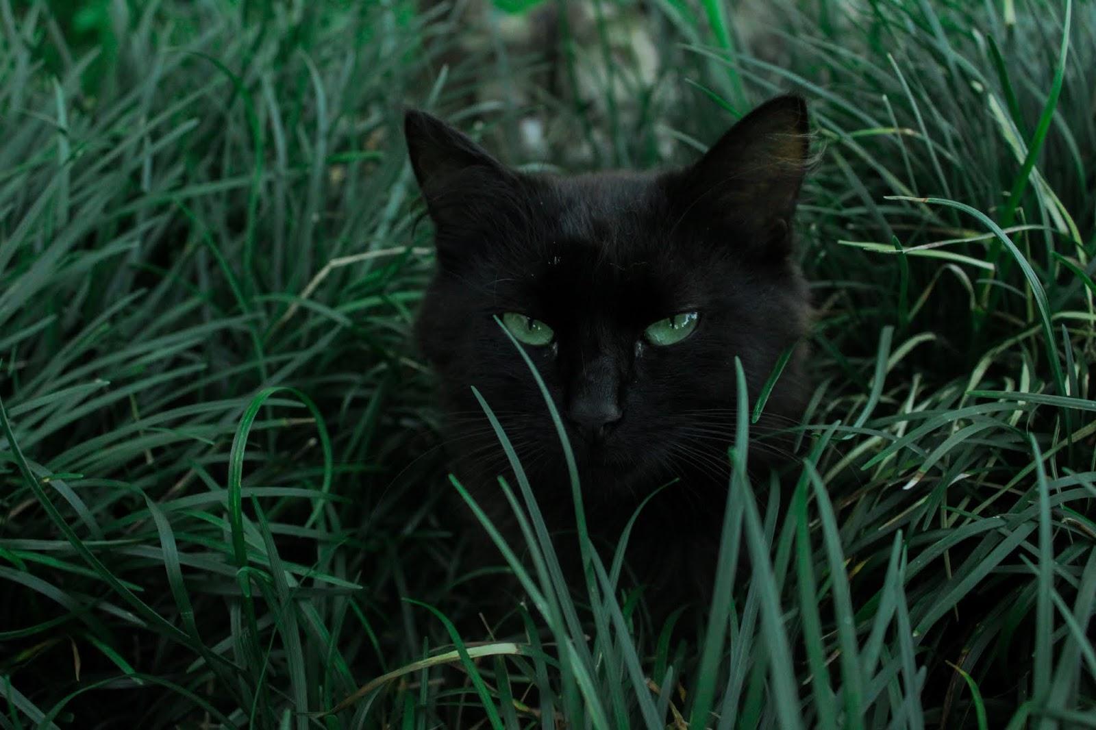 black cat hiding behind green grass,cat images