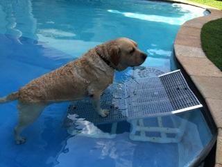 cães saindo de piscinas