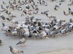 Burung Merpati di Makkah, Tentara, dan Hikmahnya