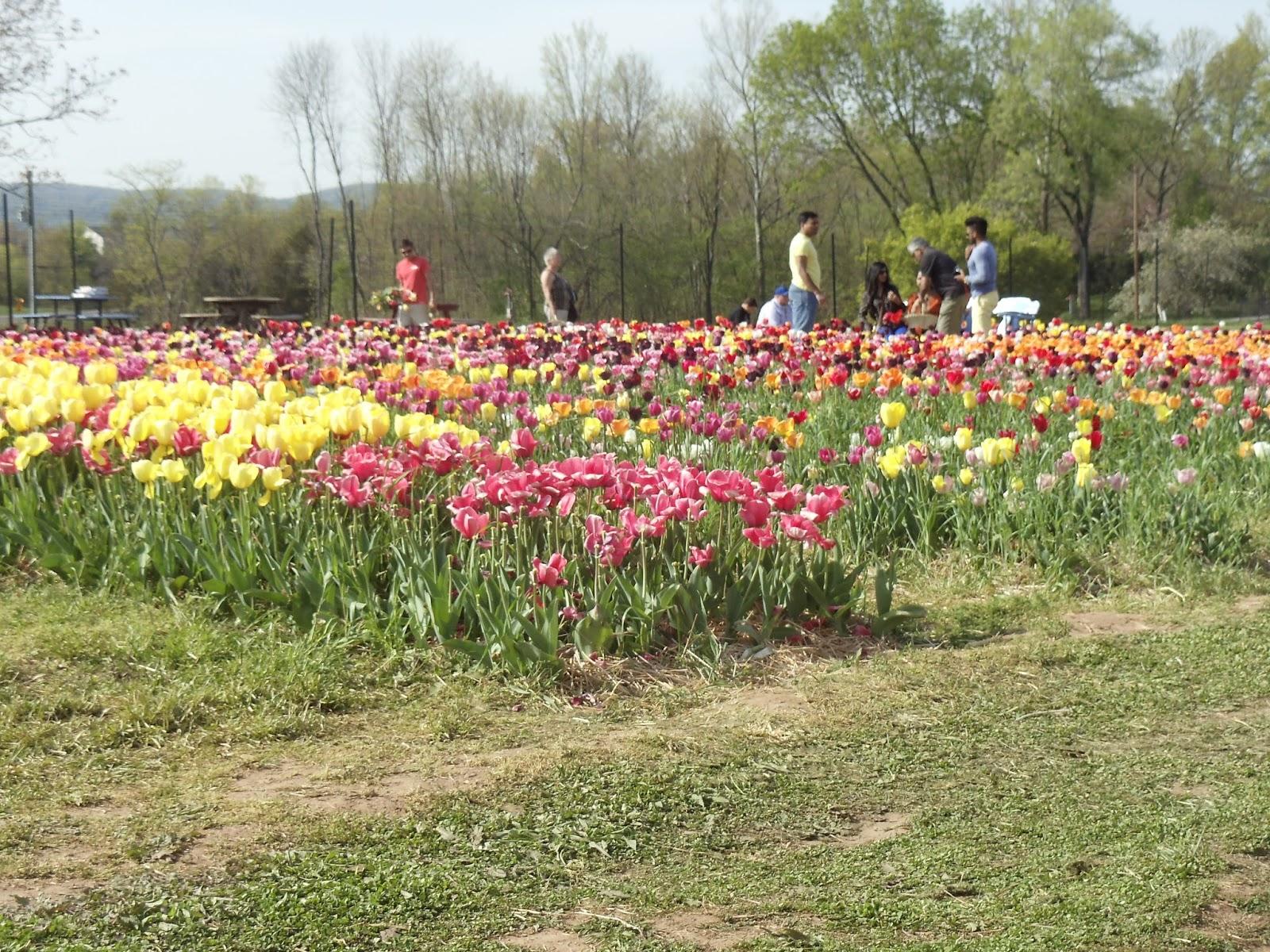 Picking tulips