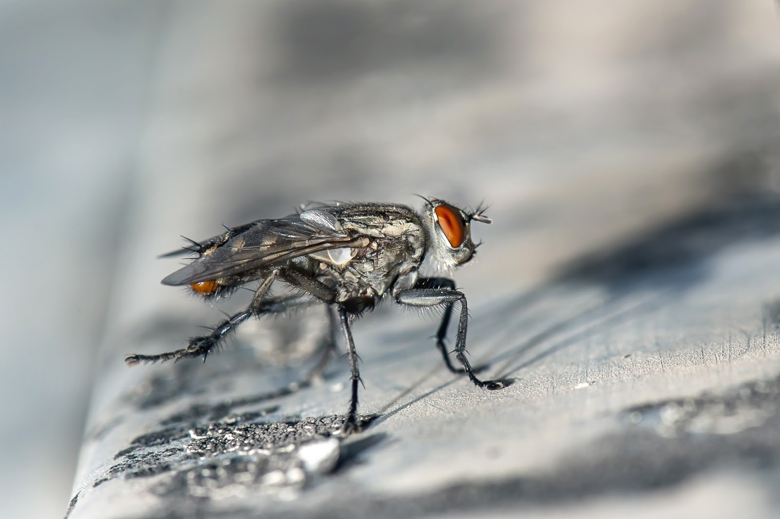 Picture of a housefly up-close.